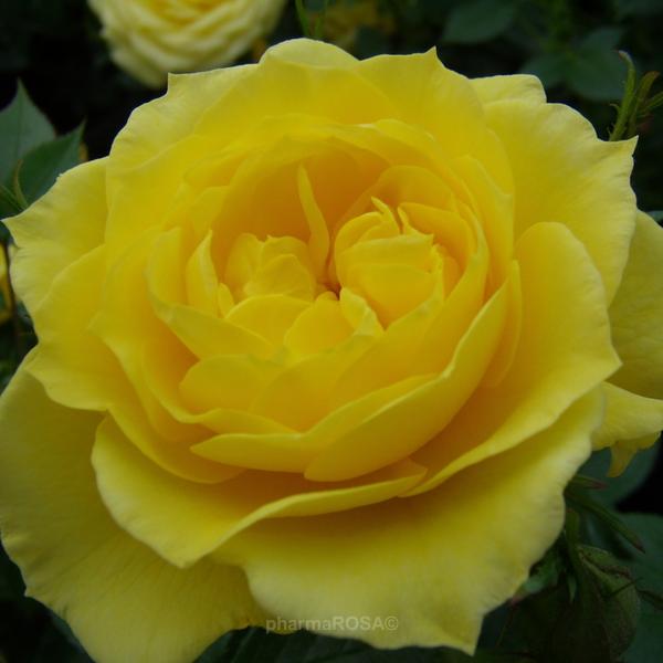 rosa gold pin zwergrosen gelb diskret duftend rosen kaufen roses online shop. Black Bedroom Furniture Sets. Home Design Ideas