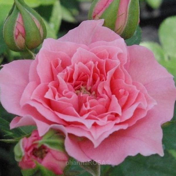 rosa moana zwergrosen rosa diskret duftend rosen kaufen roses online shop. Black Bedroom Furniture Sets. Home Design Ideas