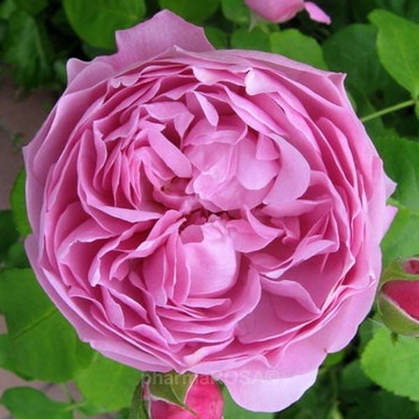rosa charles rennie mackintosh englische rosen rosa diskret duftend rosen kaufen. Black Bedroom Furniture Sets. Home Design Ideas