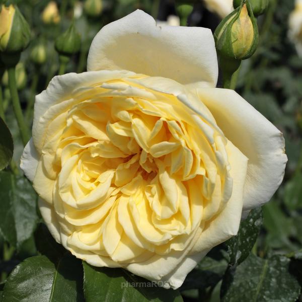 rosa casino kletterrosen gelb mittel stark duftend rosen bestellen roses online shop. Black Bedroom Furniture Sets. Home Design Ideas