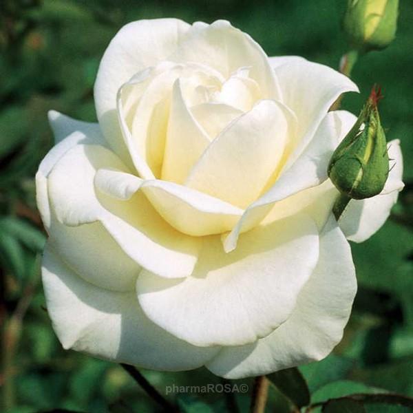 rosa mount shasta floribunda grandiflora rosen wei mittel stark duftend rosen kaufen. Black Bedroom Furniture Sets. Home Design Ideas