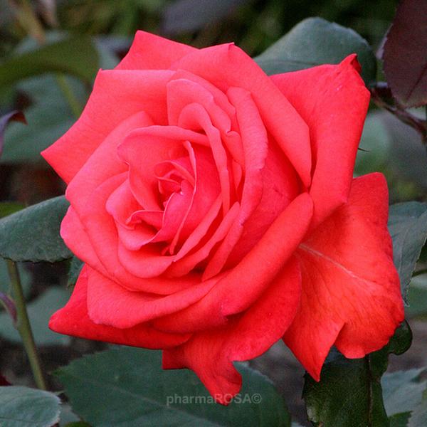rosa rosalynn carter floribunda grandiflora rosen rot stark duftend rosen kaufen. Black Bedroom Furniture Sets. Home Design Ideas