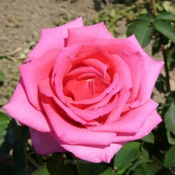 rosa chic parisien floribundarosen rosa diskret duftend rosen bestellen roses online. Black Bedroom Furniture Sets. Home Design Ideas