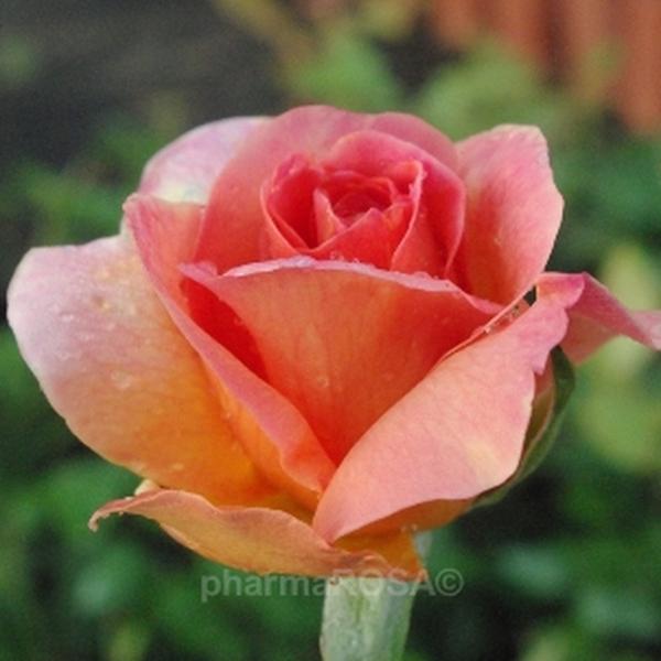 rosa courtoisie floribundarosen orange mittel stark duftend rosen bestellen roses. Black Bedroom Furniture Sets. Home Design Ideas