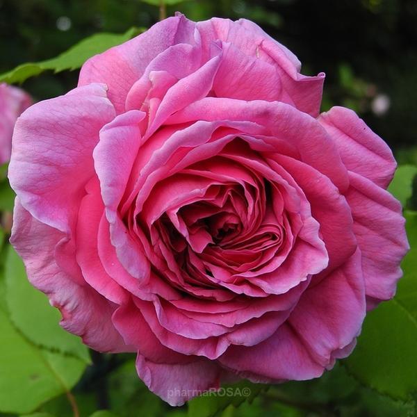 rosa madame isaac pereire bourbonrosen rosa stark duftend rosen kaufen roses online. Black Bedroom Furniture Sets. Home Design Ideas