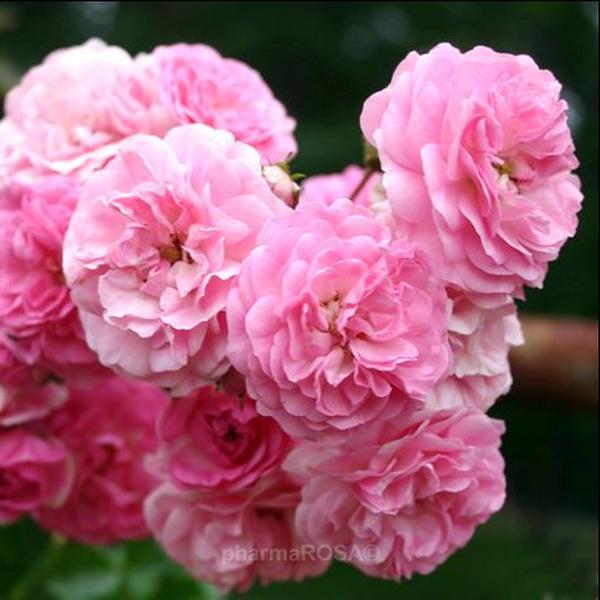 rosa minnehaha ramblerrosen rosa mittel stark duftend rosen bestellen roses online. Black Bedroom Furniture Sets. Home Design Ideas