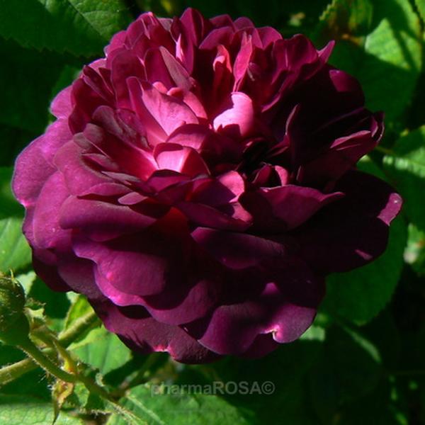 rosa ombr e parfaite gallica rosen lila diskret duftend rosen kaufen roses online. Black Bedroom Furniture Sets. Home Design Ideas