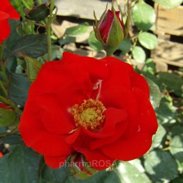 rosa fred loads floribundarosen rot diskret duftend rosen bestellen roses online. Black Bedroom Furniture Sets. Home Design Ideas