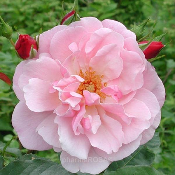 rosa m rchenland floribundarosen rosa mittel stark duftend rosen bestellen roses. Black Bedroom Furniture Sets. Home Design Ideas