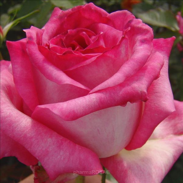 rosa kordes 39 perfecta teehybriden edelrosen wei rosa stark duftend rosen kaufen. Black Bedroom Furniture Sets. Home Design Ideas