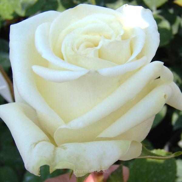 rosa varo iglo teehybriden edelrosen wei mittel stark duftend rosen kaufen roses. Black Bedroom Furniture Sets. Home Design Ideas