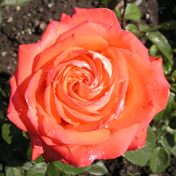 rosa queen of roses teehybriden edelrosen orange mittel stark duftend rosen bestellen. Black Bedroom Furniture Sets. Home Design Ideas